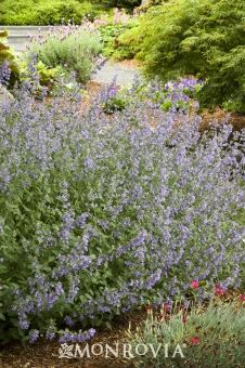 Walkers Low Catmint - Rapid growth to 10 to 15 inches tall and at least as wide - Partial to Full Sun - Needs regular watering - weekly, or more often in extreme heat - Continuous summer bloom.