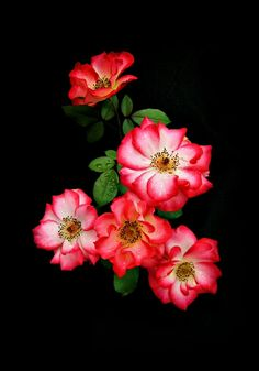 Betty Boop - (Diamonds From Heaven) - Floribunda Rose - As Captured By: Stan V. Griep