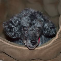 Pepee is 14 years old. partially blind and deaf. Owner relinquished.  wants his little bed which is the only thing familiar to him...came in 12-11-13... He is so confused and lays and trembles...Current on shots and vetting. Uses pee pads.. approx...