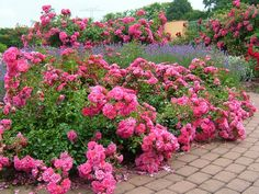 Flower Carpet Pink groundcover rose with lavender along walkway. The original eco-rose, Flower Carpet needs no fancy pruning or chemicals to perform beautifully! Rose Plant Care, Rose Care, Landscaping With Roses, Landscaping Plants, Garden Steps, Easy Garden, Amazing Flowers, Beautiful Roses, Beautiful Places