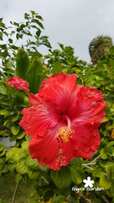 A gorgeous red hibiscus flower The Effective Pict Day Lilies, Purple Flowers, Hibiscus Flowers, Hibiscus Tree, Hibiscus, Hybrid Tea Roses, Hibiscus Garden, Hibiscus Leaves, Hibiscus Plant