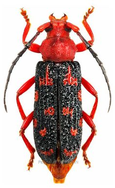Red Beetle, Beetle Bug, Cool Insects, Bugs And Insects, Longhorn Beetle, Macro Pictures, Beautiful Bugs, Insect Art, Colorful Animals