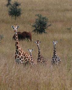 Travel + Wildlife: Giraffe Family seen in Kidepo Valley National Park, Uganda, Photographed by John Rolllins #VisitUganda