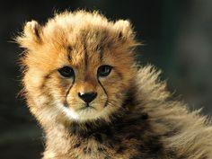 cute cheetah baby!