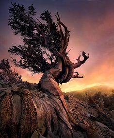 Bristlecone, White Mountains, California, Sunset
