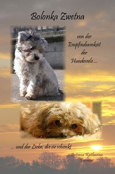 Bolonka Zwetna von der Empfindsamkeit der Hundeseele Antonia Katharina Tessnow