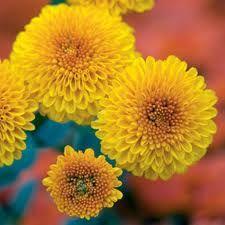 11 best fall flowers in virginia images on pinterest autumn yellow button mums mightylinksfo