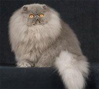 Why Anyone Should Buy A Persian Cat Beautiful Cats Cat