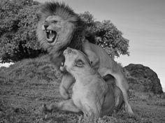 Lion Gangland | Nat Geo Wild