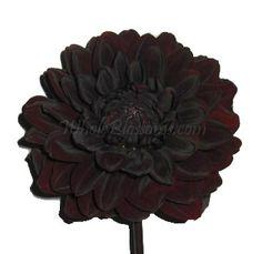 Chocolate Dahlia Flower