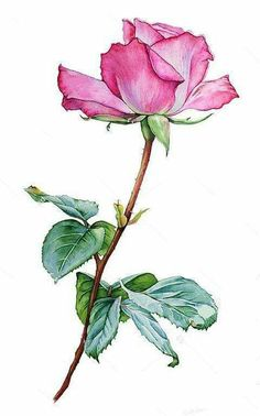 Watercolor with a Rose flower, pink rose realistic drawing, watercolor rose with leaves Botanical Drawings, Botanical Art, Watercolor Rose, Watercolor Paintings, Plant Drawing, Color Pencil Art, Arte Floral, Flower Art, Art Drawings
