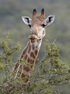 Cape Giraffe (Giraffa Camelopardalis Giraffa) Feeding, Hluhluwe Game Reserve, South Africa, Africa