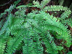 Adiantum aleuticum Maidenhair Fern, Plants, Plant, Planets