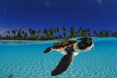 love everything about this. palm trees, gorgeous water, sea turtles. what's not to love?!