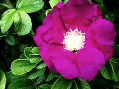 Purple Flower with a Hiding Bee