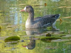 Perfect Day at the Pond ~ Bird Print ~ Grey Goose Photo ~ Nature Photography ~ Gift for Dad ~ Rustic Gift for Him ~ Green Lily Pond Plants ~ Rustic Wall Decor ~ Gray Goose Print by #NancyJCreates