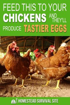 The foods you feed to your chickens have a huge effect on their overall health and the quality of their eggs in both taste and durability. What Can Chickens Eat, Raising Backyard Chickens, Keeping Chickens, Pet Chickens, Backyard Farming, Food For Chickens, Best Egg Laying Chickens, Laying Hens, Rabbits