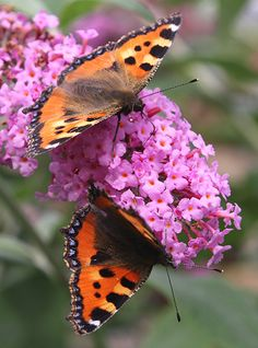 Buy butterfly bush Buddleja 'Pink Delight': Delivery by Crocus
