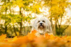 https://flic.kr/p/zdFX1B | Color explosion | Ein Hund, Sonnenschein, Laub und eine schöne Location ergeben ein wunderbares Herbstliches Bild. Klar ich habe ein wenig nachgeholfen aber die Grundstimmung war da.... Aufgenommen mit der Sony Alpha 6000 und dem SEL Sony 16-70mm 4.0 Zeiss OSS.