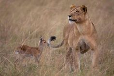 This lioness adopted a baby antelope after consuming her mother. Kind of creepy, but thus is the circle of life.