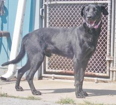Donatello* is an adoptable Black Labrador Retriever searching for a forever family near Fairmont, WV. Use Petfinder to find adoptable pets in your area.