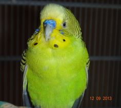 Softy, of Budgie Bonkers, lookin' good.