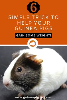 6 Simple trick to help your guinea pigs gain some weight! Guinea Pig Food, Pet Guinea Pigs, Guinea Pig Care, Guinnea Pig, Pig Facts, Animals And Pets, Cute Animals, Pigs Eating, Wild Animals Pictures
