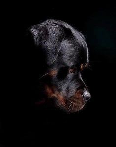 Rottweiler.  I wish I would have taken a pic like this before my baby girl passed. ♥