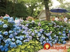 Hydrangea Care – Pruning & Blooming Tips - Southern Living Smooth Hydrangea, Hydrangea Bloom, Hydrangea Care, Hydrangea Not Blooming, Hydrangeas, Hydrangea Types, Hydrangea Shrub, Hydrangea Flower, Flowers