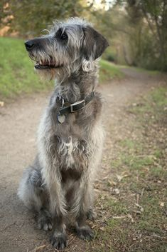 The Irish Wolfoodle brings the gentle nature of the Irish Wolfhound together with the playful Standard Poodle.