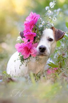 Isis Maria S.' first flower head band. #dog #photography #jackrussell #terrier #flowers #headband #jackrussellterrier