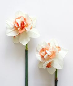 replete double daffodils