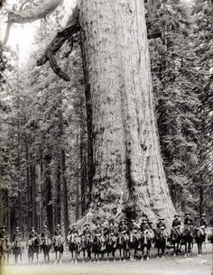 """Sixteen mounted soldiers of F Troop standing in front of """"Grizzley Giant"""", a Big Tree in Mariposa Grove in Yosemite National Park, California, 🌺🌻✿❀❁For more great pins go to Vintage Pictures, Old Pictures, Old Photos, All Nature, Amazing Nature, Big Trees California, Terra Nova, West Coast Road Trip, Giant Tree"""