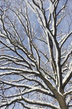 Konrad Wothe - English Oak tree in snow, Bavaria, Germany - art prints and posters