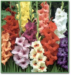 FLOWERS, BULBS - Google Search
