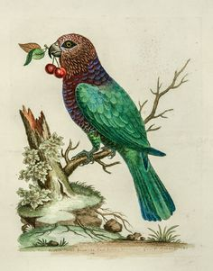 The Antiquarium - Antique Print & Map Gallery - George Edwards - Hawk-headed Parrot - Hand-colored copperplate engraving