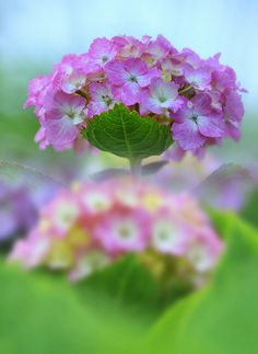 Hydrangea – A popular garden shrub with enormous flowerheads. Cultivated hydrangea come in interesting colours