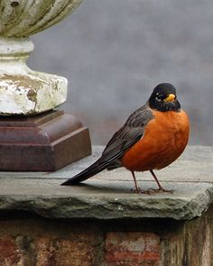 One of my favorite birds...Spring Red Robins... Yesterday @ My Cottage | Content in a Cottage