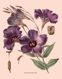 antique french victorian botanical print purple lisianthus flowers illustration digital download