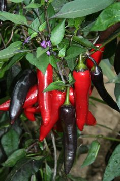 Vampire. A new and unique looking chilli variety. Chilli Vampire has produces long black fruits that ripen to a dark red. The plants leaves are dark green with a black mottling and bares purple flowers. The plants are early to fruit and can be grown either in the greenhouse or later on the patio, growing to a height of around 65cm tall. Has a Scoville rating of around 14,000.