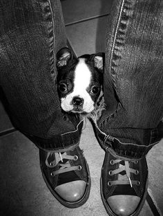 Boston Terrier and Converse Tiny Boston Terrier I Love Dogs, Puppy Love, Cute Dogs, Pitbull Terrier, Terrier Puppies, Terrier Mix, Baby Dogs, Dogs And Puppies, Doggies