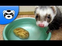 Funny Ferret Steals a Potato. Looks just like my baby lol.