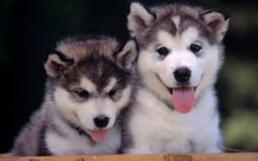 Pomsky Puppies! This is my number one choice for the dog I WILL have... Someday.
