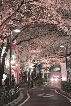 Japan. Sakura trees covered street