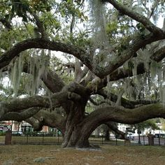 Biggest Oak Tree in Florida at Safety Harbor