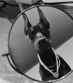 Bristol the Doberman Pinscher is looking good on Pack. Doberman Pinscher Dog, Doberman Puppies, Dogs And Puppies, Big Dogs, Corgi Puppies, Doggies, Arte Do Hip Hop, Baby Animals, Cute Animals