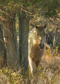 shy wild Chincoteague horse, Assateague Island National Seashore, Maryland