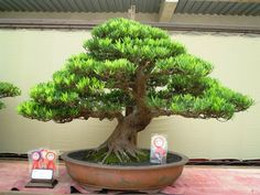 SPIRIT BONSAI INDONESIA 2012  Podocarpus