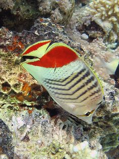 Egypt - Dahab, Red Sea by stausi on Flickr Crown Butterfly Fish (Chaetodon paucifasciatus)