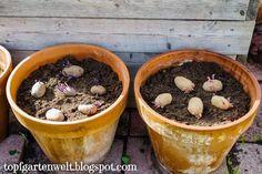 Kartoffeln im Topf Hydroponic Gardening, Organic Gardening, Container Gardening, Gardening Tips, Grow Potatoes In Container, Planting Potatoes, Small Gardens, Outdoor Gardens, Growing Sweet Potatoes